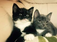 Beautiful little fluffy kittens, Ready to find a new loving family home, 8 weeks old, litter trained