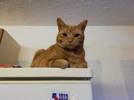 Ginger tabby cat 🐈 ♥