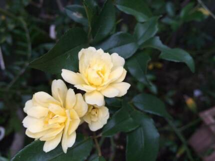 Banksia Rose - Yello Waverley Eastern Suburbs Preview