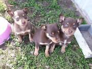 Kelpie Pups Warooka Yorke Peninsula Preview