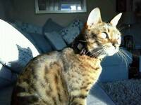 BENGAL CAT 8 years old