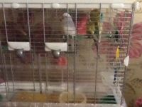 2 Budgies and Cage for Sale
