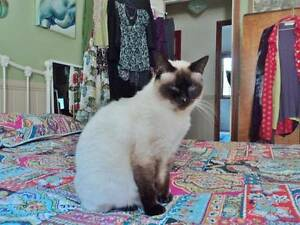 FREE 9 yr old Birman/Ragdoll Cross Needs Loving Owner with garden South Toowoomba Toowoomba City Preview