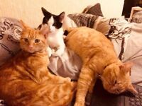 3 cats for sale two ginger brothers and a black and white kitten