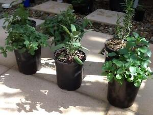 HERB PLANTS, HEALTHY & ORGANIC, AUTUMN CLEARANCE SALE Kew East Boroondara Area Preview