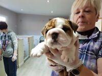 Bulldog Puppies KC Reg Show Potential