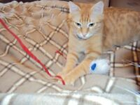 MISSING GINGER CAT SE5 8EE CAMBERWELL