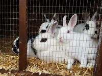 We have 9 rabbits for sale. All ready to go. £5.00 each