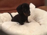 Gorgeous little mini smooth haired dachshund pups