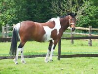 PONY PADDOCK /ROUGH PIECE OF GRAZING LAND TO RENT FOR PONY