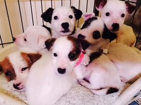 JACK RUSSELL PUPPIES READY NOW