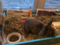 Bunny Rabbit - Needs to go to a good home