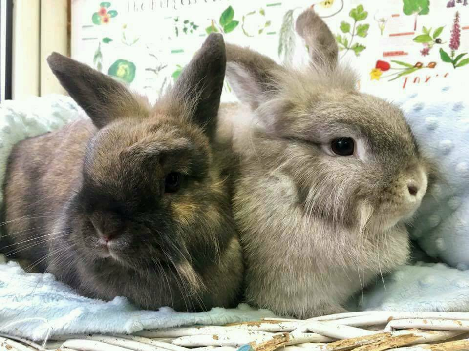 Female rabbits