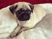 Female puppy pug