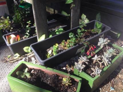 10x Succulent Cuttings Buderim Maroochydore Area Preview