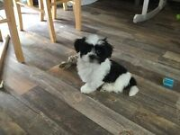 Lhasa apso pups. 9 weeks old
