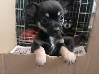 KC REGISTERED CHIHUAHUA PUPS 2 BOYS