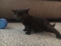 Black female kitten for sale