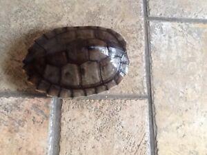 $200 Chinese Golden Threader Turtle