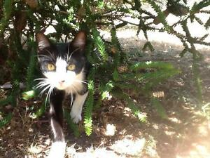 Black and White Domestic Shorthair Female Cat lost in Anglesea Anglesea Surf Coast Preview