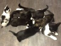 Kittens for sale. house reared