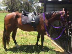 Reduced to $1,000.00 ono Horse for sale with tack South Burnett Area Preview