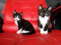 Male kittens £30each