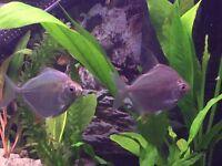 7 silver dollar fish