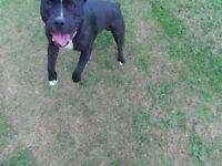 Tyson Staffordshire Bull Terrier needs rehome