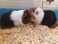 Updated info 2 Guinea Pigs plus cage Paid £180 want £80
