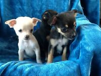 Beautiful chihuahua X Jack Russell puppies