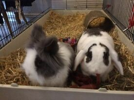Two Really Friendly Rabbits & Hutch