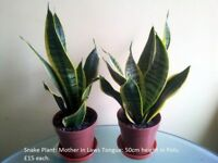 Snake Plants / Mother in Laws Tongue Plants