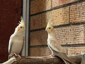 Aviary Cockatiels, ONLY $60 each!!