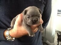 *Stunning* Blue French Bulldog *Female* (Last one remaining) £2900