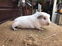 Rescue guinea pig babies