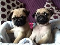 """""READY NOW""""kc reg stunning pug puppies"