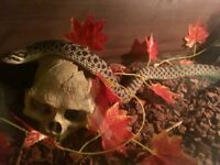 Western Hognose Snake with 4ft Vivarium