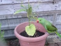 Baby Indian Ringneck with Cage