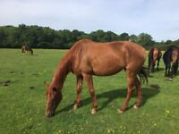 9 Year Old Hanoverian x TB Mare For Full Loan