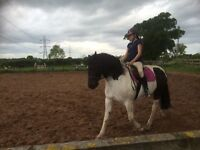 Welsh sec d X cob 14.2hh bomb prof loves to be fussed make a great first or second pony