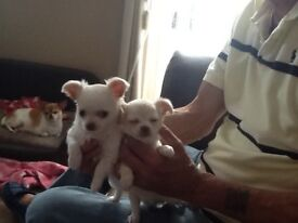 Adorable White & Champagne girl Chihuahua puppies