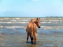 Rising 4, 13hh, chestnut pony mare. Brisbane City Brisbane North West Preview