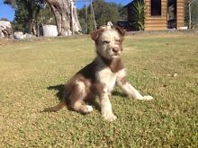 2 kelpie x koolie puppies East Gresford Dungog Area Preview