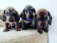 4 Dachshund Puppies For Sale