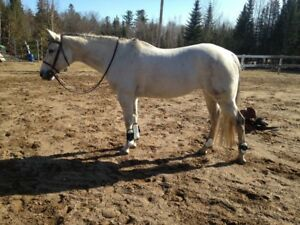 For sale - 11 yr old appendix mare