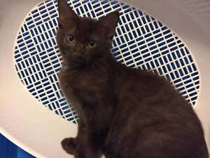 AK1660 : Chocolate - KITTEN FOR ADOPTION - Vet Work Included Clarkson Wanneroo Area Preview