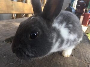 Dwarf cross rabbit for sale