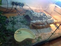 Bearded Dragon with Viv and set-up