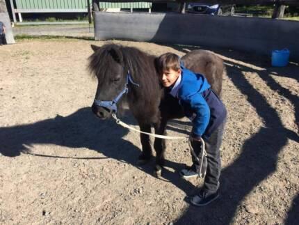 Quiet miniture pony mare